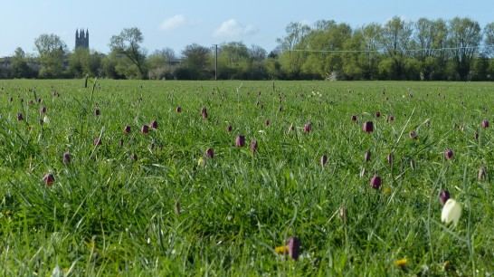 Crickdale, fritillaries in bloom. @pareja con botas