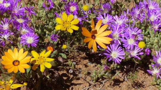 Flores en Namaqualand. parejaconbotas.blog